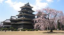 松本城の見所⑧加藤清正駒つなぎの桜